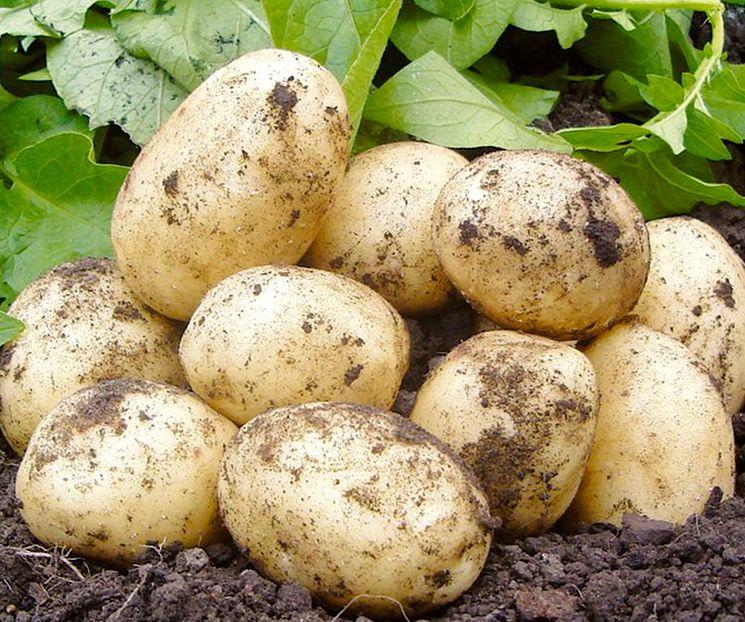 сорта картофеля фото описание очень разваристый покорила
