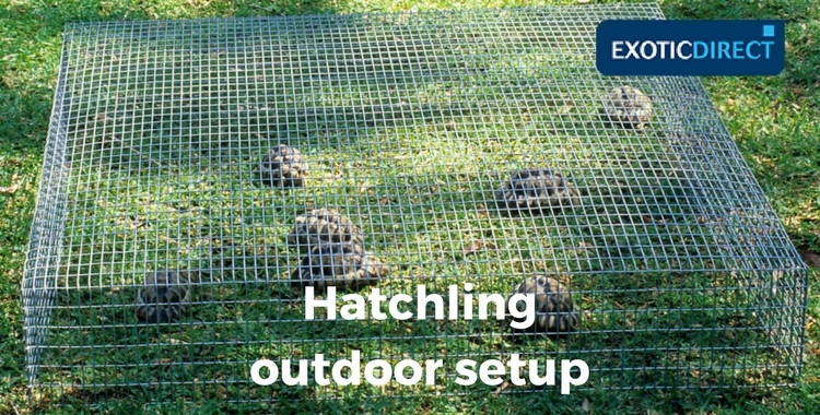 hatchhlings inside a hardware cloth frame