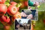 Когда нужно прививать деревья – Когда лучше прививать плодовые деревья