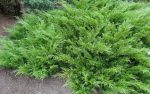 Что такое можжевельник кустарник или дерево – фото, описание дерева, виды и сорта