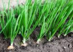 Выращивание лука в открытом грунте – Выращивание лука и уход в открытом грунте: как получить хороший урожай